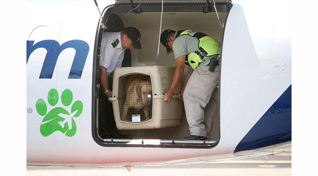 Перевозка животных Аэрофлотом, s7, самолетом иной компании: правила, как перевезти кота, собаку и другого питомца по России и за границу, размер переноски для салона